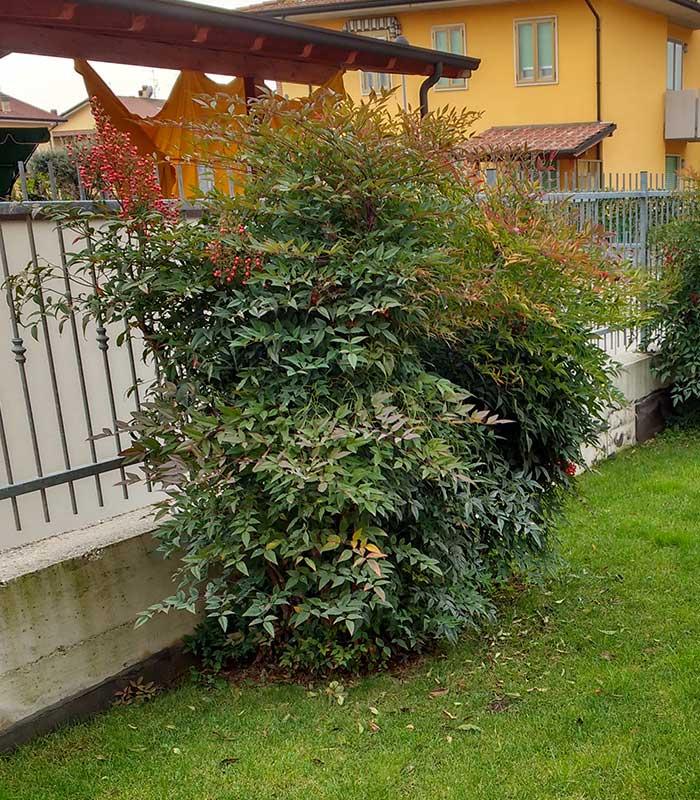 Specie arbusti nandina