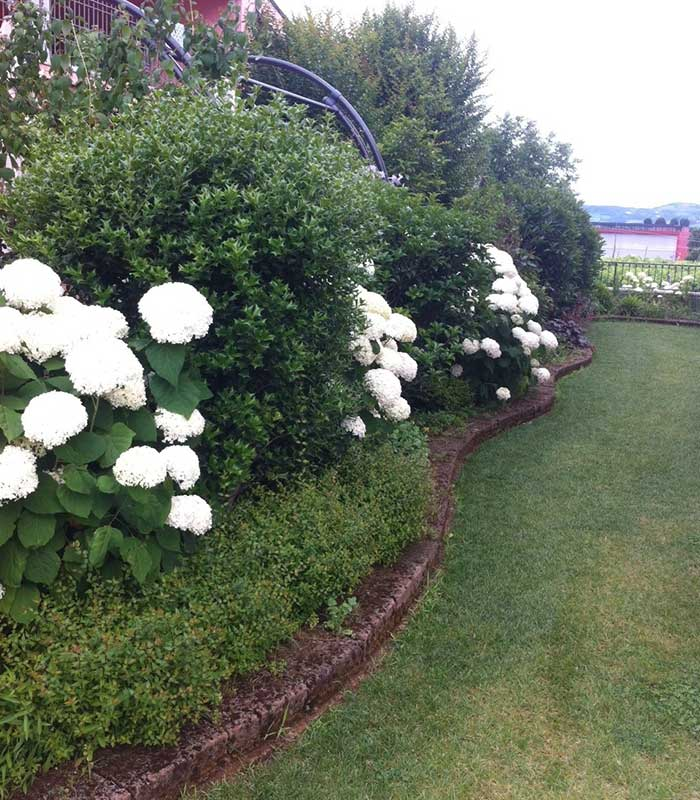Specie arbusti osmanthus