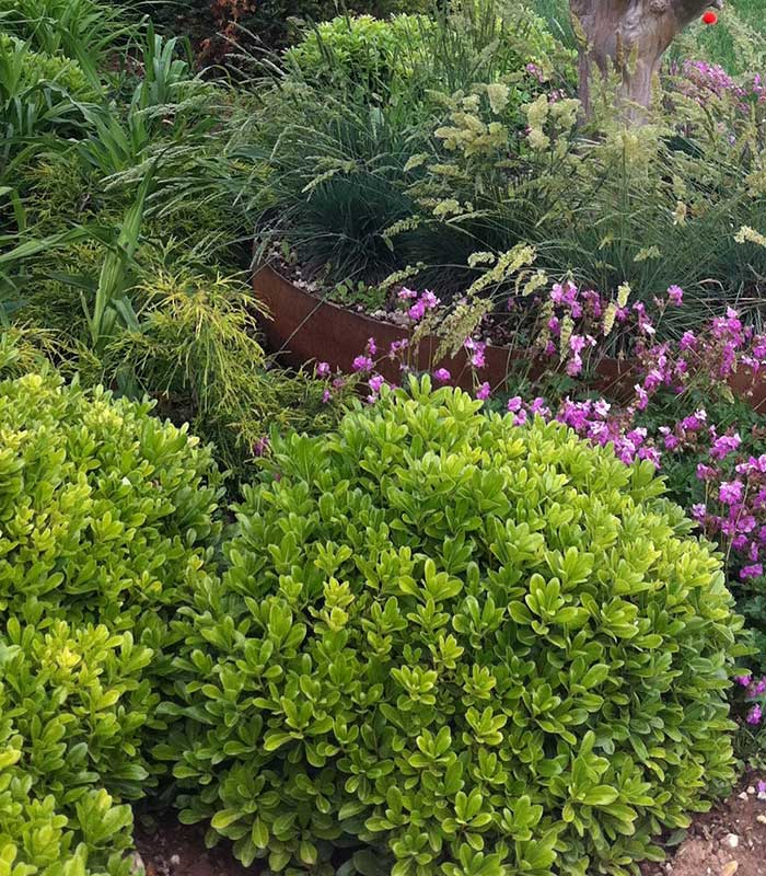 Specie arbusti pittosporo nano