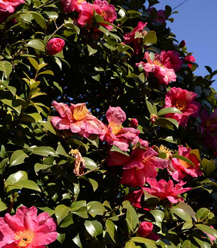 Specie camellia