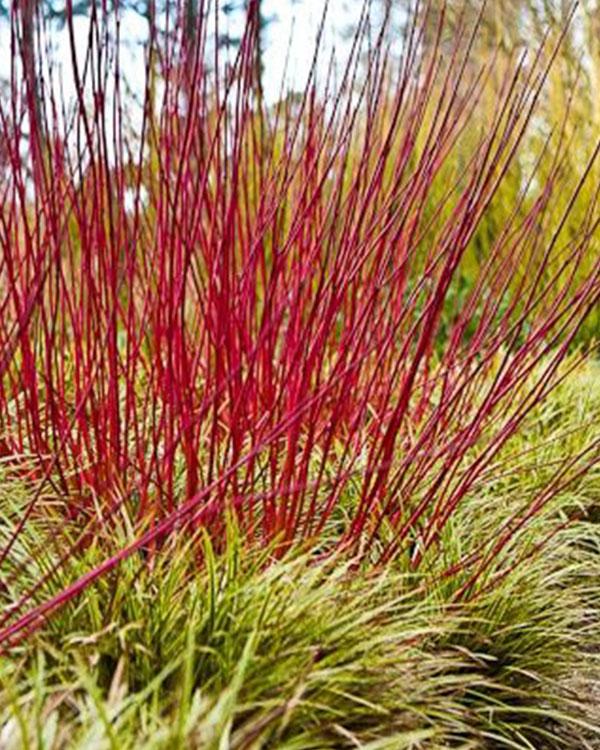 Vivaio vendita arbusti caducifoglia provincia vicenza