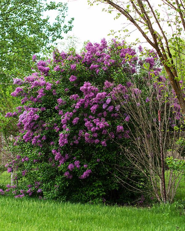 Arbusti in provincia di vicenza