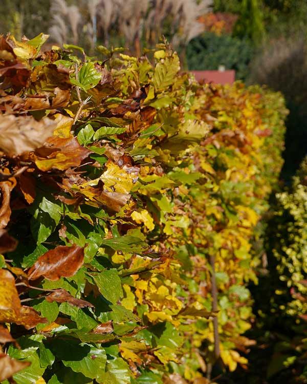 Siepi che perdono foglie provincia vicenza