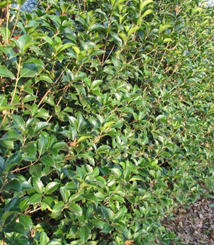 Specie osmanthusaquifolium