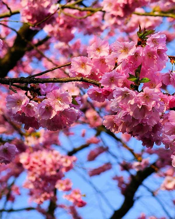Vivaio vendita alberi che fioriscono provincia vicenza