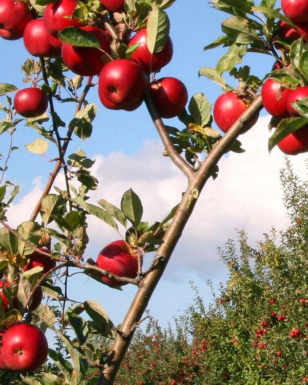 vendita alberi da frutto a vicenza e provincia vivaio